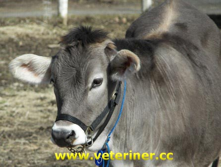 Esmer (Montofon - Brown Swiss) S���r� ( www.veteriner.cc )